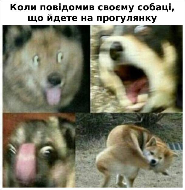 Собача радість: Коли повідомив своєму собаці, що йдете на прогулянку. Собака емоційно реагує