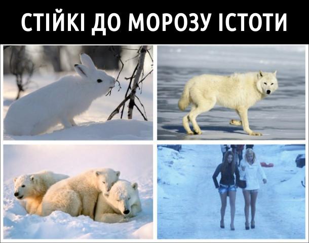 Стійкі до морозу істоти: зайці, вовки, білі ведмеді і дівчата в коротких шортиках