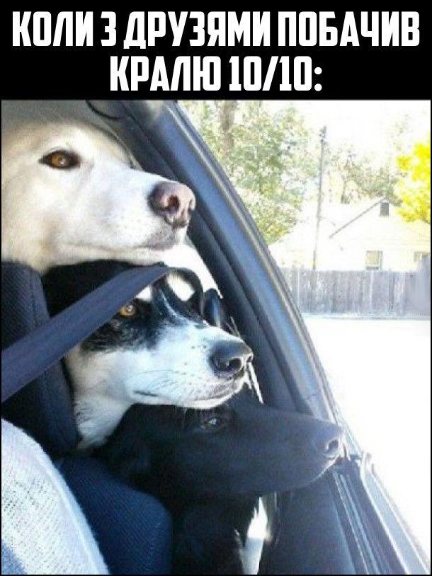Коли з друзями побачив кралю 10/10: три пса виглядають з вікна автомобіля