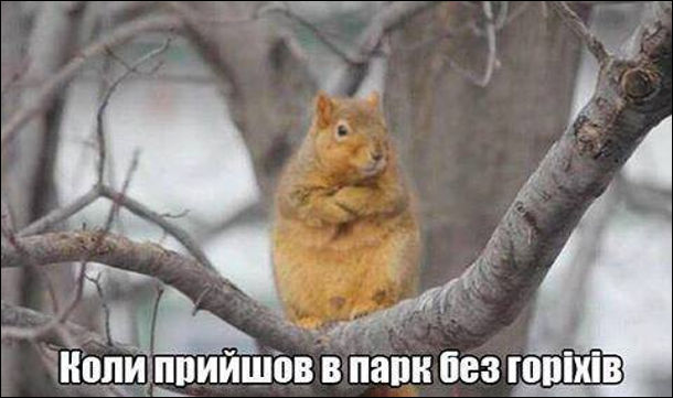 Коли прийшов в парк без горіхів. Гладка смішна білка сидить на гілках склавши передні лапи, неначе незадоволена