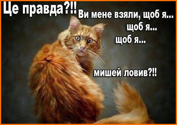 Кіт в шоці. - Це правда?!! Ви мене взяли, що я... щоб я... щоб я... мишей ловив?!!