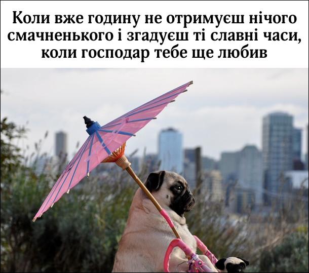 Мопс з рожевою парасолею дивиться в далечінь. Коли вже годину не отримуєш нічого смачненького і згадуєш ті славні часи, коли господар тебе ще любив