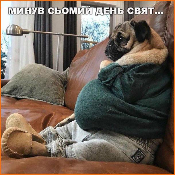 Прикол про Різдвяні свята. Минув сьомий день свят... Собака мопс в светрі, штанях і капцях сидить на канапі, виваливши пузо