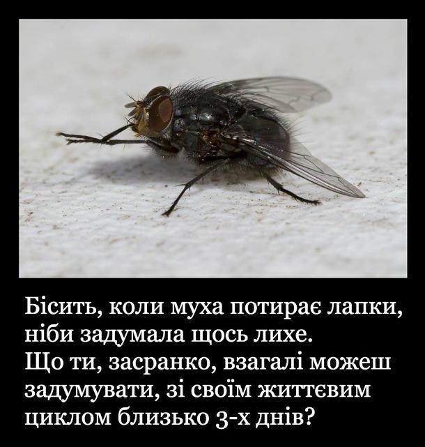 Жарт про муху. Бісить, коли муха потирає лапки, ніби задумала щось лихе. Що ти, засранко, взагалі можеш зхадумувати, зі своїм життєвим циклом близько 3-х днів?