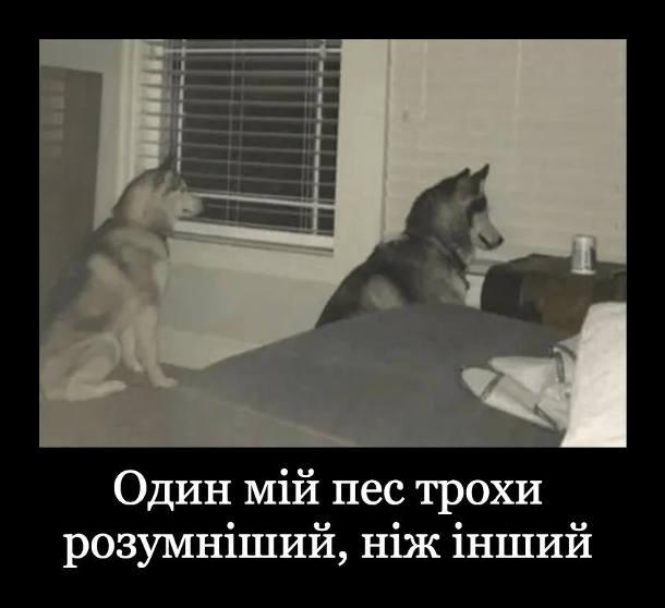 Дві смішні собаки. Один мій пес трохи розумніший, ніж інший. Один дивиться у вікно з відкритими жалюзями, інший дивиться у вікно із закритими жалюзями