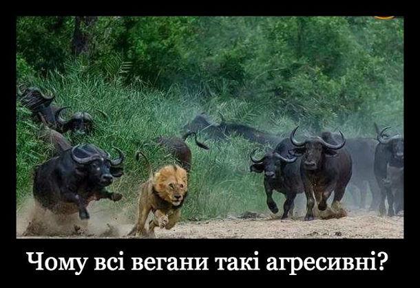 Мем про веганів. Чому всі вегани такі агресивні? Лев втікає від буйволів
