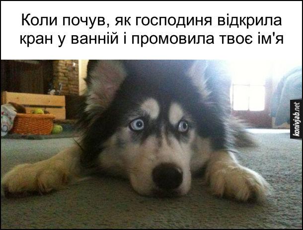 Смішний переляканий пес. Коли почув, як господиня відкрила кран у ванній і промовила твоє ім'я