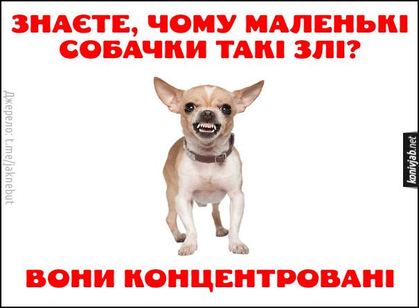 Жарт про маленьких собак. Знаєте, чому маленькі собачки такі злі?  Вони концентровані