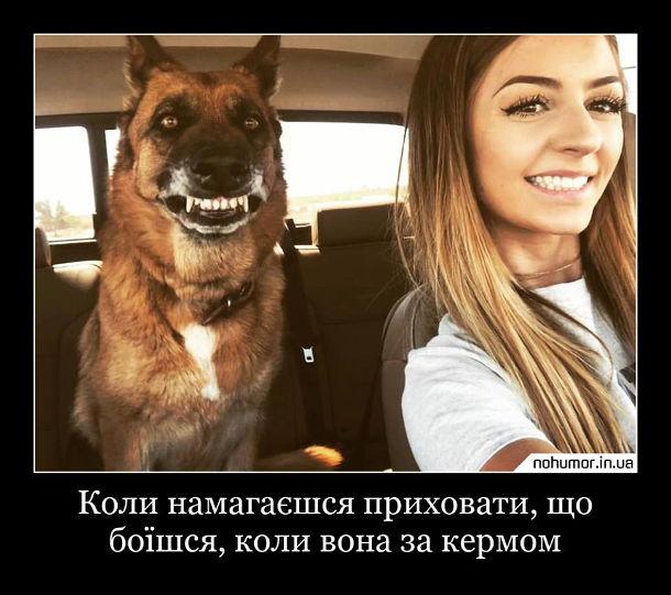 Дівчина за кермом Прикол. Коли намагаєшся приховати, що боїшся, коли вона за кермом. Дівчина їде в авто а на задньому сидінні сидить собака і вишкірив зуби, ніби всміхається. Дівчина також всміхається
