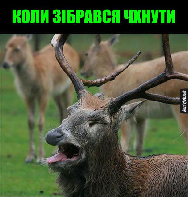 Жарт про оленя. Це відчуття, коли зібрався чхнути. Олень відкрив рота і висолопив язика