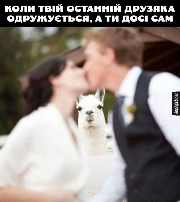 Прикол Всі друзі одружились (оженились). Молодята цілуються на весіллі, а не це сумно поглядає біла лама. Це відчкття, коли твій останній друзяка одружується, а ти досі сам