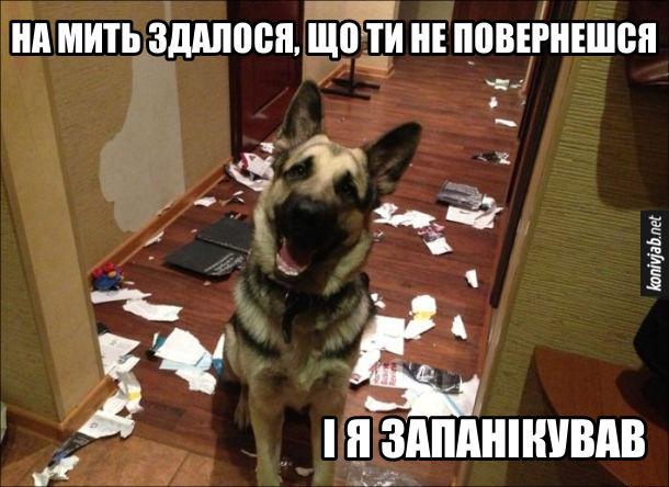 Смішне фото Пес нашкодив. Собака (вівчарка) зробив гармидер в хаті: порвав шпалери, погриз журнали. Виправдовується - На мить здалося, що ти не повернешся і я запанікував