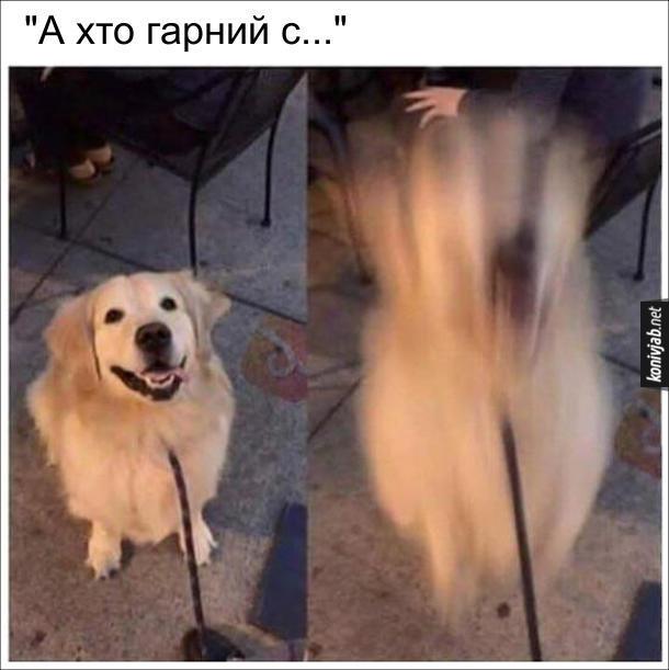 """Собака розуміє з півслова. Хотів сказати песику: """"А хто гарний собака?"""", а встиг сказати лише """"А хто гарний с..."""" і пес почав радісно цибати"""