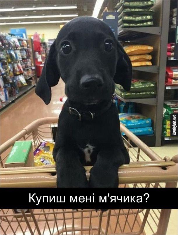 Гарнюній песик і супермаркеті сидить у візку і благально дивиться на господаря: - Купиш мені м'ячика? Ну як тут відмовиш...