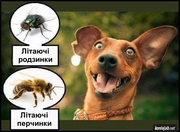 Прикол. Чому собаки ловлять мух і бджіл. Для собаки мухи - це літаючі родзинки, а бджоли - літаючі перчинки (бо жалять і воно пече)