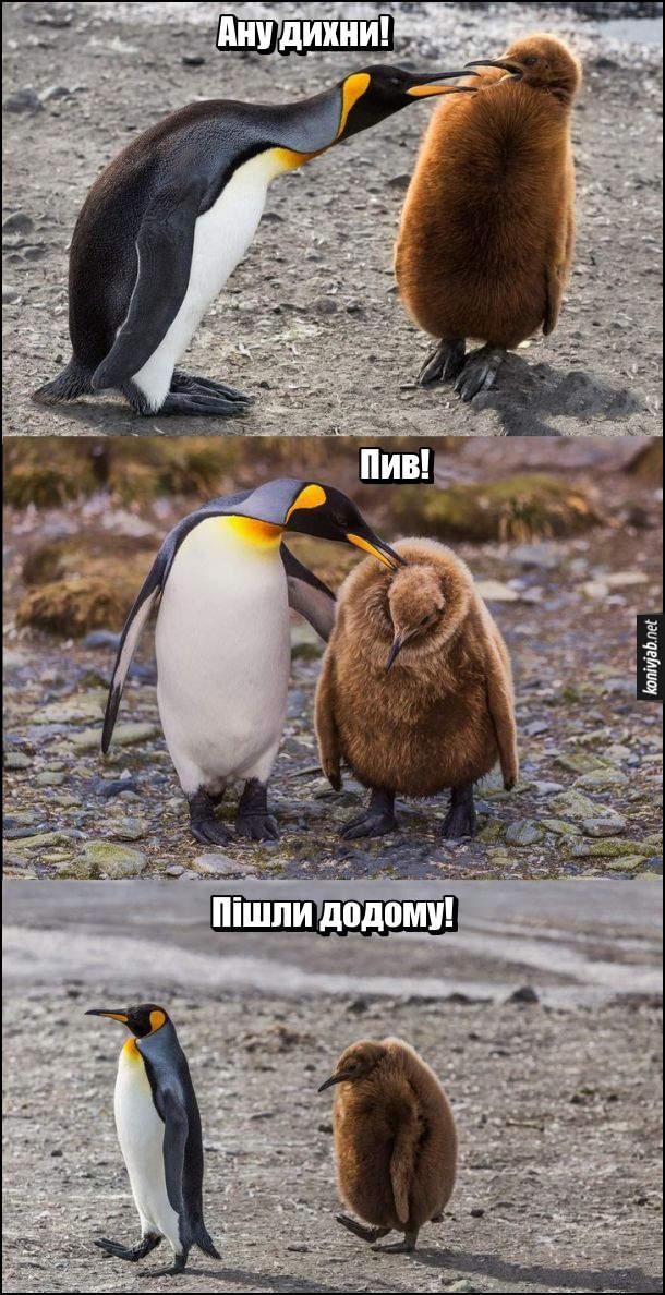 Жарт про пінгвінів. Батько пінгвін до пінгвиняти: - Ану дихни!... Пив!... Пішли додому!