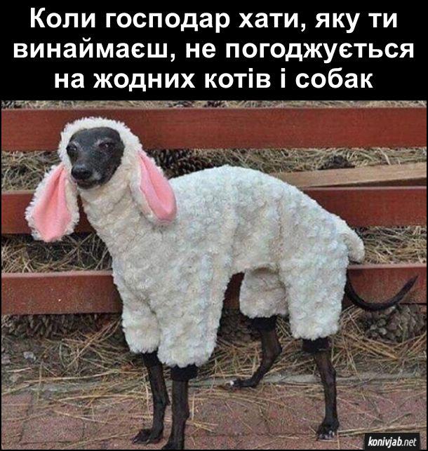 Прикол Собака в костюмі. Коли господар хати, яку ти винаймаєш, не погоджується на жодних котів і собак, одягнув собаку в костюм вівці