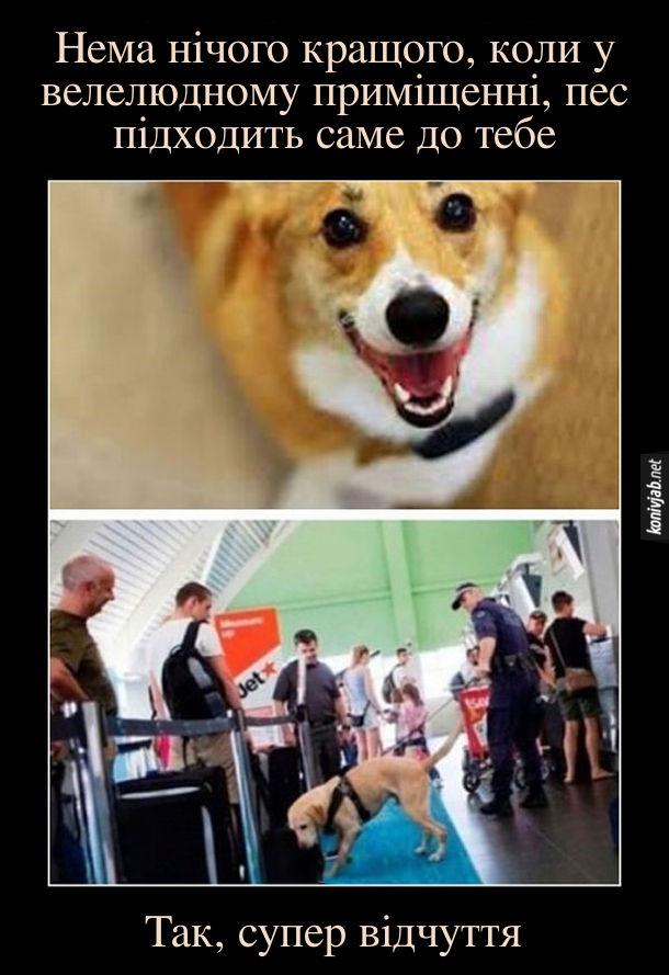 Демотиватор про собаку. Нема нічого кращого, коли у велелюдному приміщенні, пес підходить саме до тебе. На митниці поліцейський пес нюхає твою валізу. Так супер відчуття