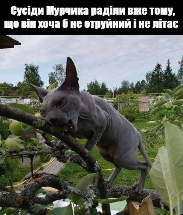 Жарт про лисого кота (породи Канадський сфінкс). Сусіди Мурчика раділи вже тому, що він хоча б не отруйний і не літає. На фото: кіт на дереві гризе гілку
