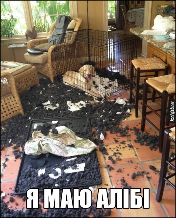 Смішна картинка. Собака понаробляв в кімнаті, а потім заліз в клітку і сидить там. Я маю алібі