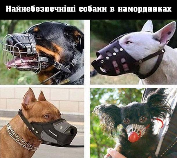 Смішне про собак. Найнебезпечніші собаки в намордниках. Фото небезпечних собак і серед них маленька ручна собачка з бадмінтонним воланом замість намордника
