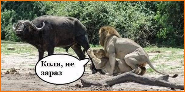 Прикол Леви і секс. Левиця вхопила за ногу буйвола, а в цей час левові захотілося сексу. Левиця: - Коля не зараз