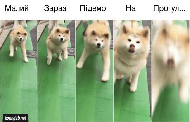"""Мем Песик хоче на прогулянку. Коли кажеш собаці: - Малий, зараз підемо на прогул... (пес не дав договорити """"прогулянку"""" і на радостях кинувся на господаря)"""