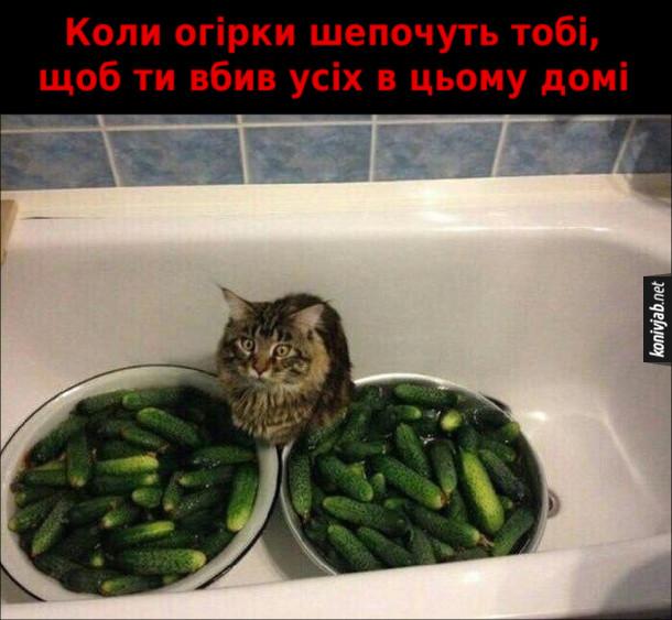 Смішний кіт сидить у ванній на мисках з огірками і відсторонено дивиться. Коли огірки шепочуть тобі, щоб ти вбив усіх в цьому домі