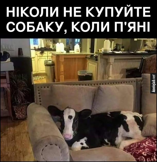 Прикол Теля в хаті. В квартирі на канапі лежить теля. Ніколи не купуйте собаку, коли п'яні