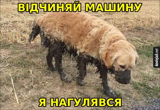 Прикол Брудний пес. Собака зацвиганий, весь у болоті каже до господаря: - Відчиняй машину, я нагулявся.