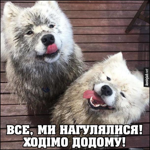 Смішні брудні собаки. Двоє собак хаскі, замурзані, до господаря: - Все, ми нагулялися! Ходімо додому!
