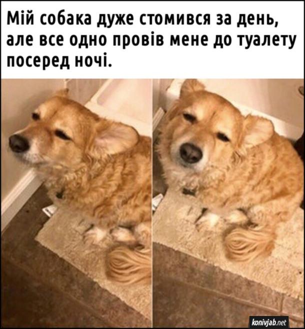 Смішна фотка собаки. Мій собака дуже стомився за день, але все одно провів мене до туалету посеред ночі.