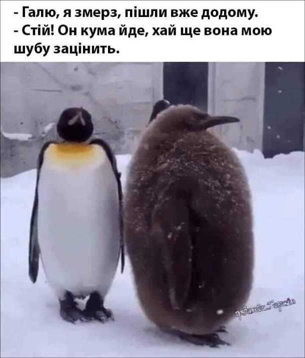 Смішний малюнок про пінгвінів. - Галю, я змерз, пішли вже додому. - Стій! Он кума йде, хай ще вона мою шубу зацінить