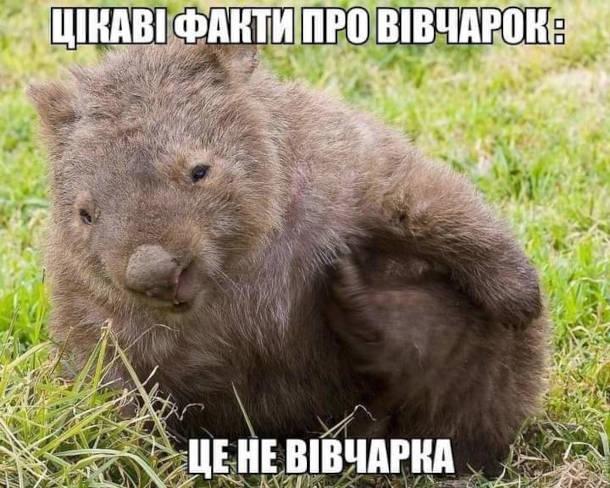 Мем Капібара. Цікаві факти про вівчарок: це не вівчарка