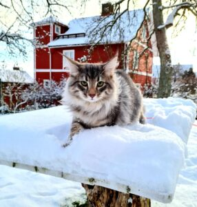 norwegian forest cat in the snow silver tabby