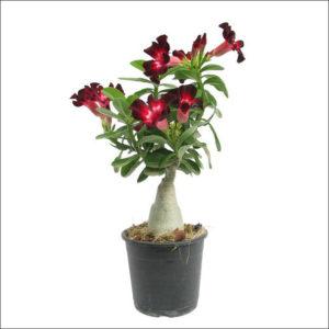 Yoidentity Adenium Plant (Maroon)