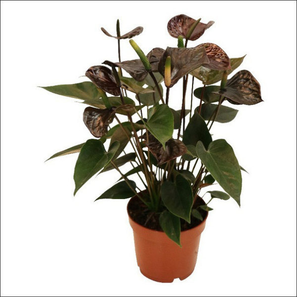 Yoidentity Anthurium (Black)