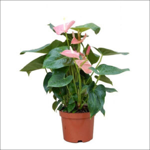 Yoidentity Anthurium (Pink)