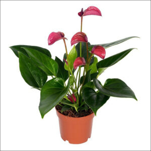 Yoidentity Anthurium (Purple)