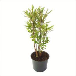 Yoidentity Aralia Plant (Black)
