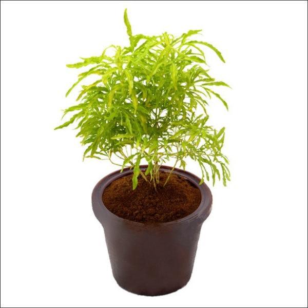 Yoidentity Aralia Plant (Golden)