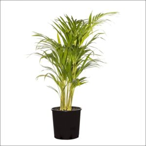 Yoidentity Areca Palm Plant Medium