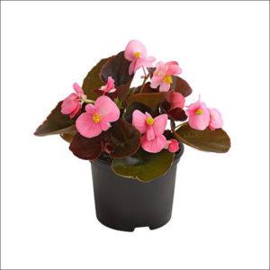 Yoidentity Begonia (Pink)