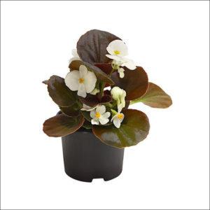 Yoidentity Begonia (White)