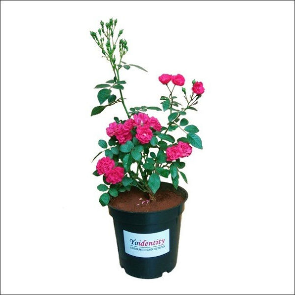 Yoidentity Button Rose (Pink)