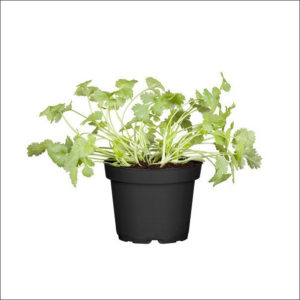 Yoidentity Coriander Plant