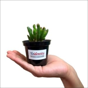 Yoidentity Crassula Hobbit