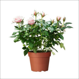 Yoidentity Dutch Rose (Light Pink)