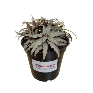 Yoidentity Earth Star Plant