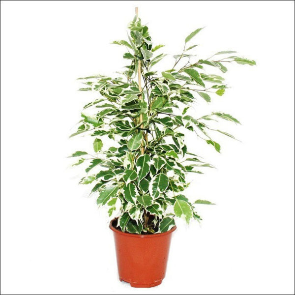Yoidentity Ficus (White & Green)